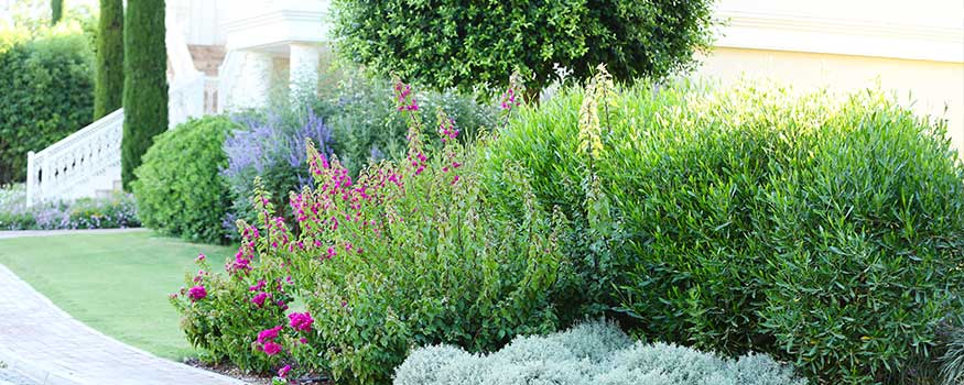 how to transplant shrubs