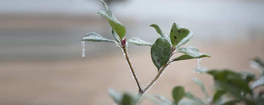 frozen plants