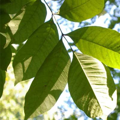 poisonous plants - poison sumac