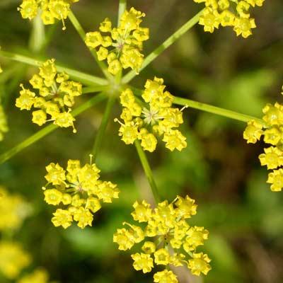 poisonous plants - wild parsnips